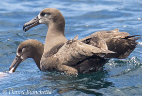 Black-footed Albatross, photo by Daniel Bianchetta