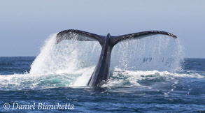 Humpback Whale tail, photo by Daniel Bianchetta