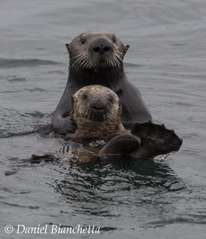 Southern Sea Otters Mom and Pup, photo by Daniel Bianchetta