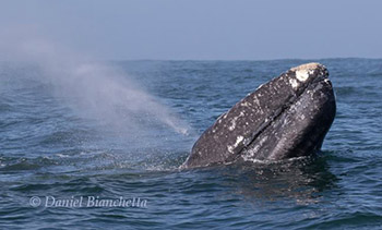 Gray Whale photo by Daniel Bianchetta