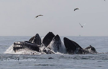 Humpback Whales lunge-feeding photo by Daniel Bianchetta